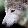 lonewolf1960